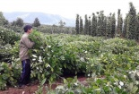 'Thương lái Trung Quốc đổ xô thu mua rễ hồ tiêu là chuyện bình thường'