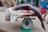 Cá trắm đen 'khủng' hơn 60kg sa lưới ngư dân trên hồ Thác Bà, đại gia xuống tiền ngay