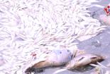 Xác cá chết trắng kéo dài cả trăm mét dọc đường ven hồ Tây