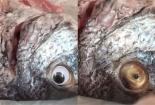 'Phù phép' cá ươn thành cá tươi bằng cách ... lắp mắt cá giả