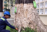 Truyền nước biển cứu 1000 cây cổ thụ tại TP Trà Vinh