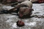 Kinh hoàng thịt sấy từ... lợn chết