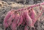 Thực hư chuyện bơm thuốc tăng trưởng kích thích khoai lang ở Gia Lai