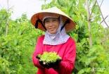Nghệ An: Hoa thiên lý được giá cho thu nhập cao