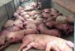 Tiêu huỷ hơn 1,6 tấn thịt lợn nhiễm dịch tả lợn Châu Phi