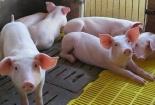 Giá lợn hơi giảm mạnh dịp cận Tết