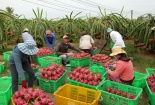 Đẩy mạnh sản xuất và tiêu thụ nông sản mùa dịch Covid-19