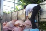 Lợn 'lậu' đội lốt lợn 'nội'