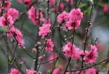 Đào Tết có tem chắc chắn nở hoa và đảm bảo 'không phải đào rừng'