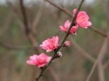 Ngắm hoa đào nở sớm đẹp hút hồn tại vườn đào Nhật Tân