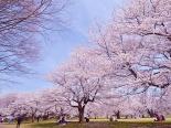 Tháng 4 về lạc trôi vào giữa rừng hoa anh đào khoe sắc ở đất nước mặt trời mọc