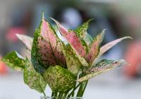 Kỹ thuật trồng hoa mắt huyền cho ban công thêm dịu dàng quyến rũ - ảnh 2