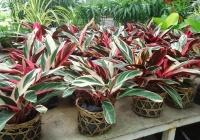 Kỹ thuật trồng và chăm sóc cây mai sau Tết tươi tốt quanh năm - ảnh 2