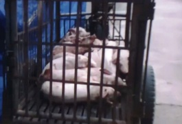 Buông lỏng quản lý các cơ sở giết mổ lợn bệnh, lợn chết