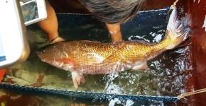 Cá sủ vàng 10 kg mắc lưới ngư dân trên sông Thị Vải