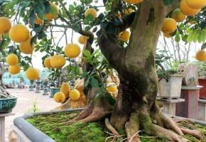 Bưỡi Diễn bonsai xuống phố phục vụ Tết Nguyên đán