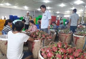 Doanh nghiệp tìm cách xuất khẩu thanh long bằng đường biển