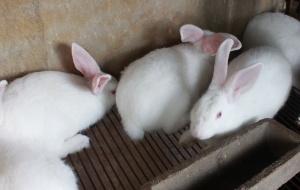 Kỹ thuật nuôi và chăm sóc thỏ sinh sản hiệu quả cao