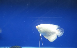 Kỹ thuật nuôi cá Tài Phát mang may mắn, tài lộc cho gia chủ