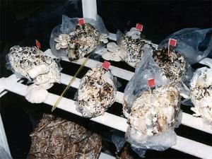 Tận dụng bỉm đã qua sử dụng để trồng nấm cho năng suất cao