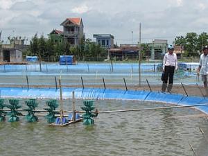 Nuôi tôm nước lợ theo VietGAP như thế nào để bền vững
