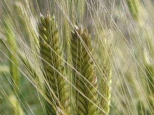 Nguy hại không ngờ từ lúa mì