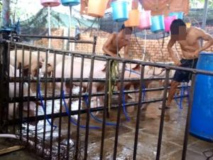 Đột nhập 'công xưởng' heo bơm nước