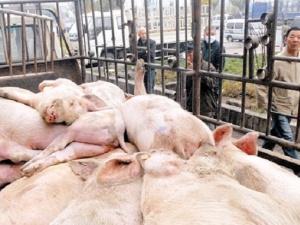 Tinh vi quá trình xử lý thịt lợn chết bệnh