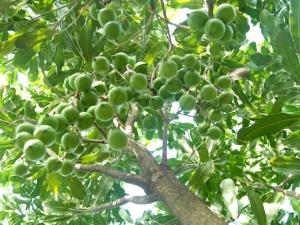 Tìm hiểu cách trồng và chăm sóc cây 'bạc tỷ' mang tên mắc ca