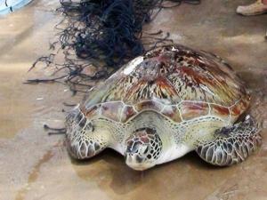 Bạc Liêu: Rùa biển hiếm gặp nặng 62kg lọt lưới ngư dân