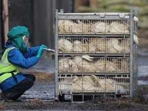 Cúm gia cầm biến thể H5N2 lan rộng tại Mỹ, Việt Nam cảnh báo người dân