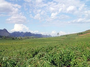 Lựa chọn giống sắn cho năng suất cao tại vùng Tây Nguyên