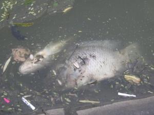 Lại một năm cá chết trắng Hồ Gươm sau đêm giao thừa bắn pháo hoa