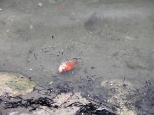 Tết ông Công ông táo: Thả cá thả cả tro vàng mã gây ô nhiễm môi trường