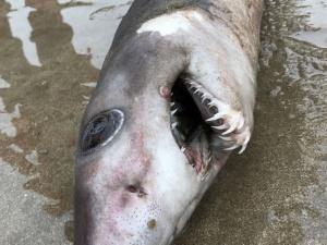 Ngạc nhiên phát hiện cá mập hiếm với hình thù kỳ lạ