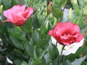 Kỹ thuật trồng cây hoa Cát tường cho ban công đẹp rực rỡ thu hút mọi ánh nhìn
