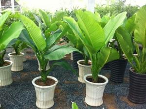 Kỹ thuật trồng cây Đại phú mang tiền tài, danh vọng cho cả nhà