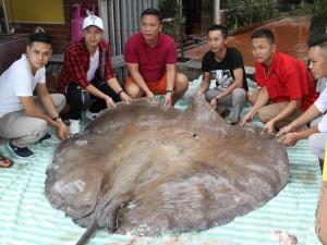Hà Nội: Cá đuối 'khủng' 216 kg, dài hơn 3m 'bay' từ Thái Lan về phục vụ đại gia
