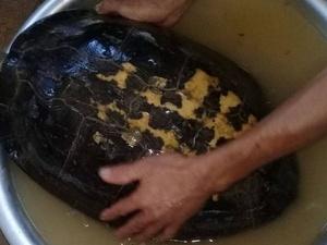 Cả làng đổ xô đi xem rùa lạ có vân vàng hình giống chữ nho