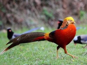 Chiêm ngưỡng đàn chim trĩ 7 màu quý hiếm