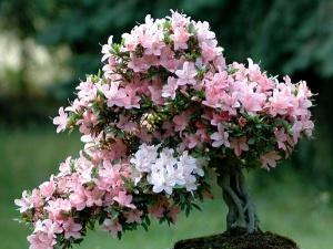Chăm sóc hoa Đỗ Quyên nở tươi rực rỡ chưng ngày Tết mang sung túc cho gia chủ