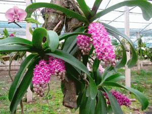 Kỹ thuật trồng và ghép lan đai châu cho vườn nhà rực rỡ sắc hương