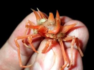 Kỳ dị 12 loài giáp xác mới được phát hiện dưới đáy biển sâu