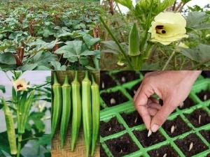 Kỹ thuật trồng cây đậu bắp đơn giản năng suất vượt trội