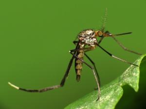 Hiểm họa khi phát hiện muỗi mang hạt nhựa siêu nhỏ làm lây lan sang thực phẩm