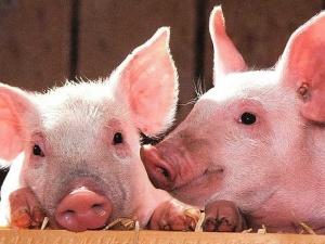 Giá thịt lợn tăng cao do nguồn cung khan hiếm