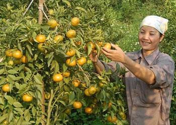 Doanh nghiệp liên kết nông dân để nâng cao chất lượng nông sản