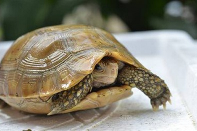 Thương lái Trung Quốc bỏ trăm triệu mua rùa cảnh