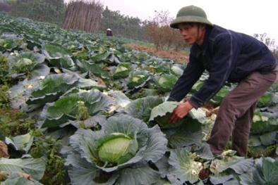 Nông dân nhổ bỏ nông sản cho bò ăn vì giá giảm mạnh sau Tết