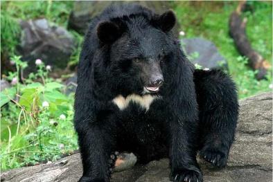 Quảng Ninh: 30 cá thể gấu chết trong vòng 4 tháng